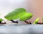 formigas-colaboracaop